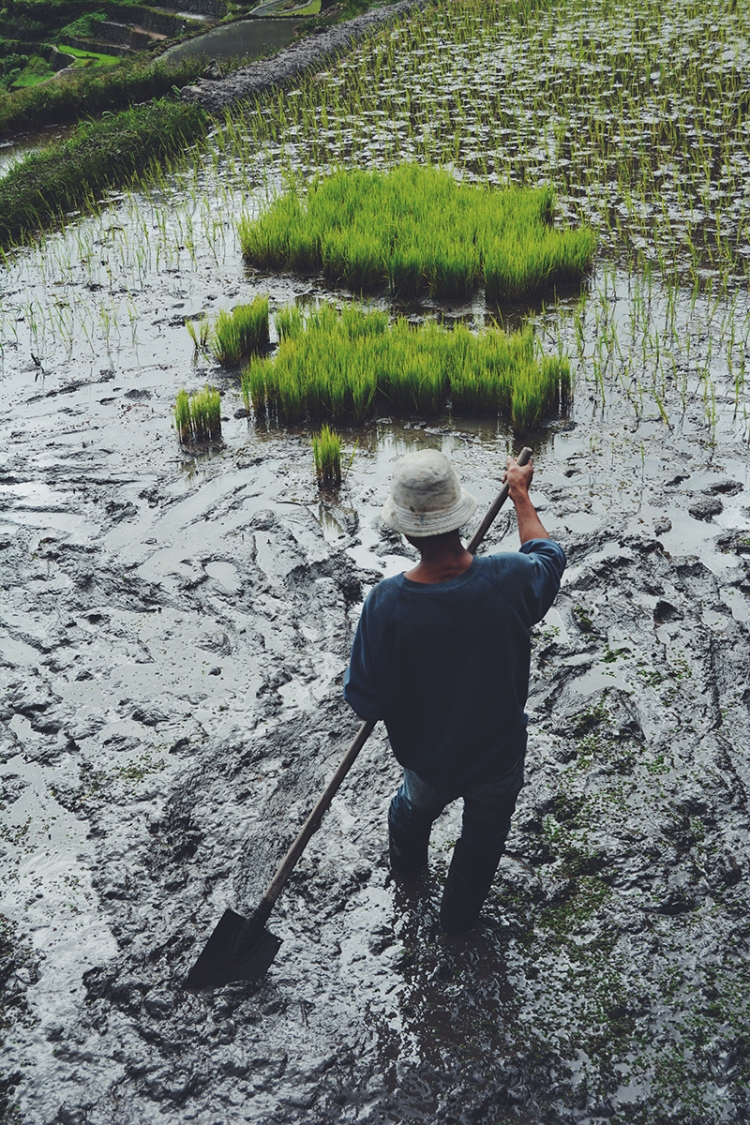 A farmer prepares a rice pond for the planting season.